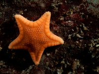 Tiny Sea Star